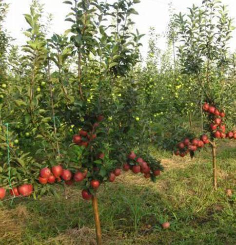 Яблоня - саженцы и крупномеры