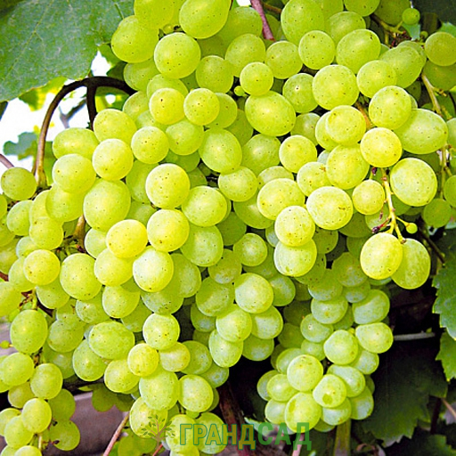 фотографии топлес, виноград мираж описание сорта фото оптика